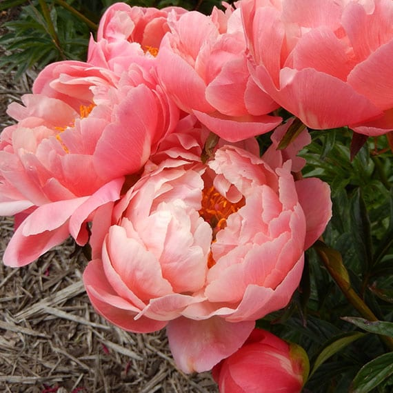 Coral Charm Peony Hebaceous