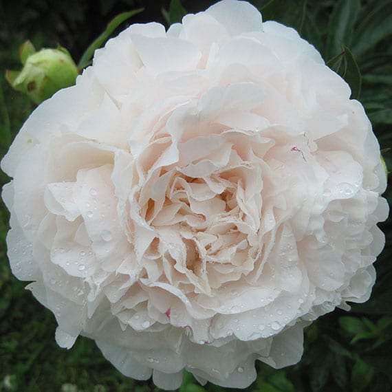 Mothers Choice Peony Hebaceous