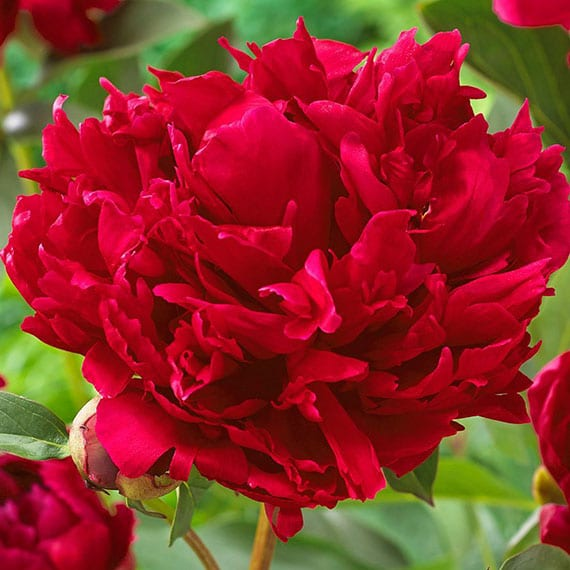 Red Magic Peony Hebaceous